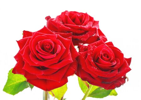 Beautiful fresh red roses close up isolated on white. Stok Fotoğraf