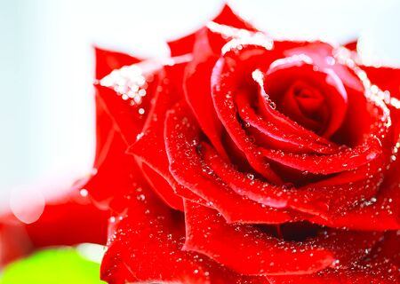 Beautiful fresh red rose close up isolated on white.