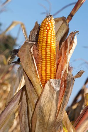 Corn Stock Photo - 2754070