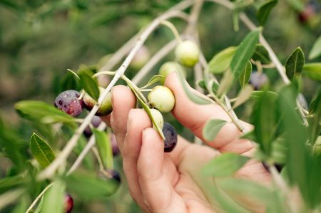 Picking olives by hand photo