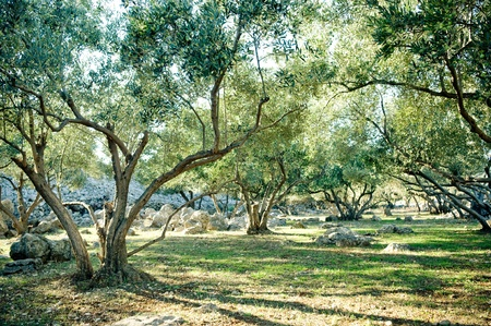Olive trees grove  photo