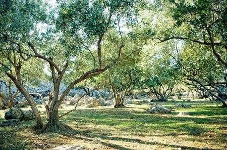 mediteranean: Olive trees grove  Stock Photo