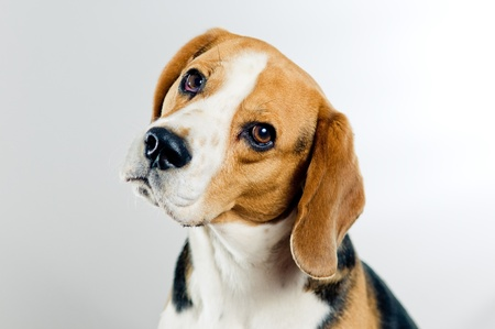 Portrait of cute beagle dog on simple background Stock Photo