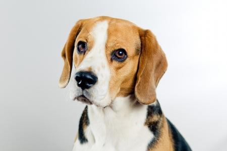 Portret van schattige beagle hond op eenvoudige achtergrond Stockfoto
