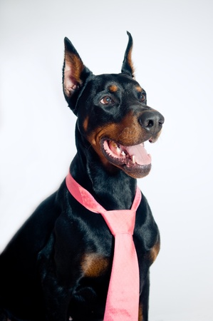 Doberman pinscher wearing pink tie on simple background photo