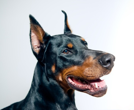 Doberman Pinscher portrait on simple background Stock Photo