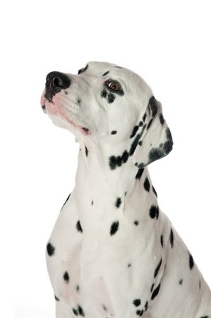 Dalmatian dog portrait on white background photo