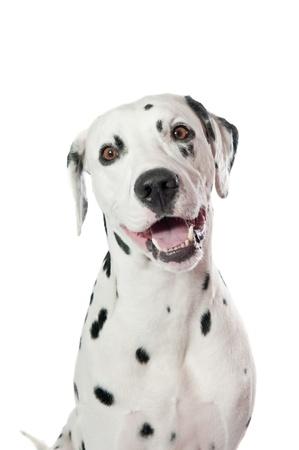 Dalmatische hond portret op witte achtergrond Stockfoto