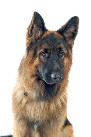 Duitse herder portret op witte achtergrond Stockfoto