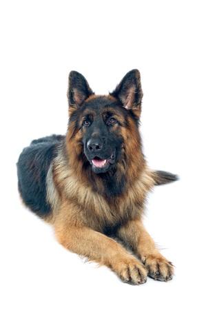 pastorcillo: German shepherd retrato sobre fondo blanco Foto de archivo