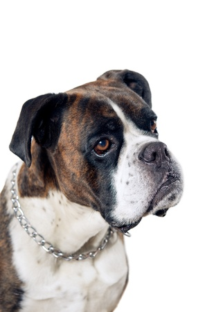German boxer dog portrait isolated on a white background photo