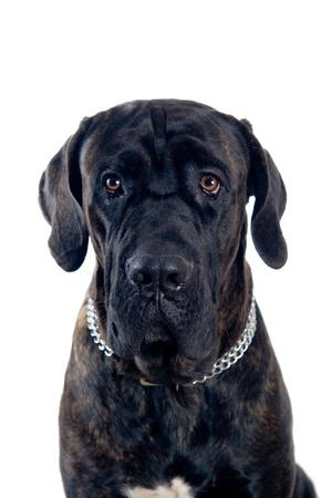 cane corso: Cane corso ritratto cane Mastino isolato su bianco