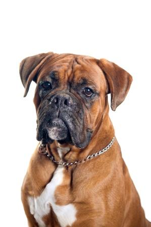 perro boxer: Retrato del perro del boxeador aislado en el fondo blanco