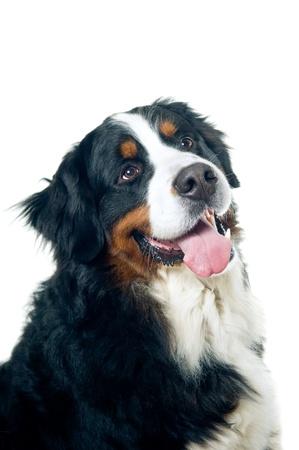 bernese dog: Bernese mountain dog portrait isolated on white background