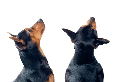 Two Pinscher dogs isolated on white looking up  photo