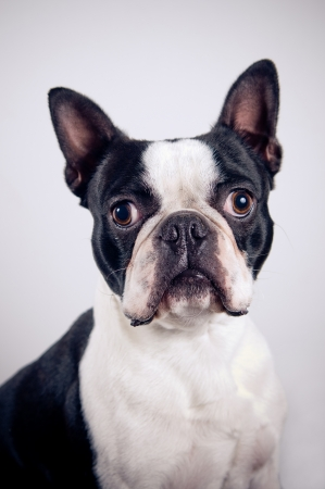 Boston terrier portrait on simple background photo
