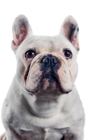 French bulldog portrait isolated on white background