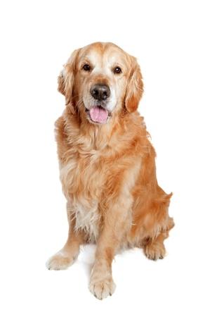 sitting down: Golden retriever dog posing in studio  White background
