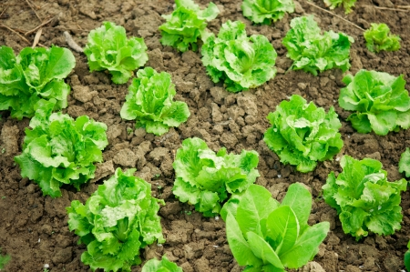 edible leaves: Vegetable garden  Rows of fresh lettuce plants  Stock Photo