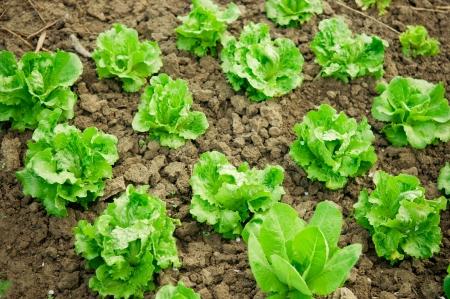 edible leaves: Vegetable garden  Rows of fresh lettuce plants  Stock Photo