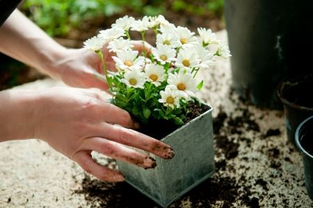 Hands planting white flower plant in metal pot