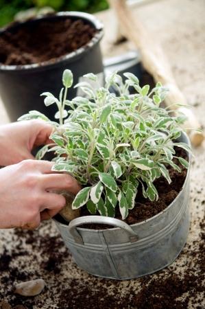 Hands planting sage in metal flower pot  photo