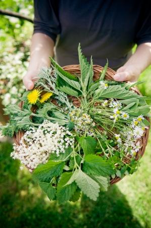 herbs wild: La selecci�n de hierbas silvestres en el canasto Foto de archivo