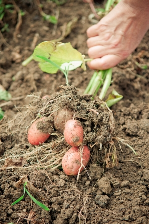potato field: Hand pulling potato plant from soil