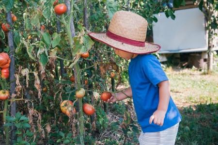 Schattige kleine jongen plukken tomaten