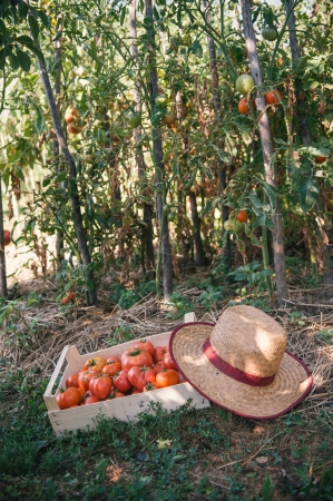 Fresh organic tomatoes in wooden crate photo