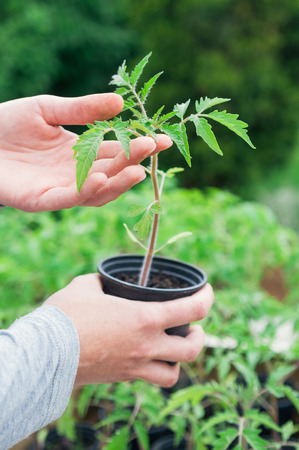 seedling growing: Hand holding pot with tomato seedling