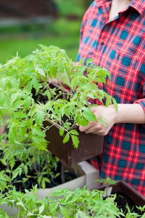 Vrouw bedrijf krat met tomaat zaailingen Stockfoto