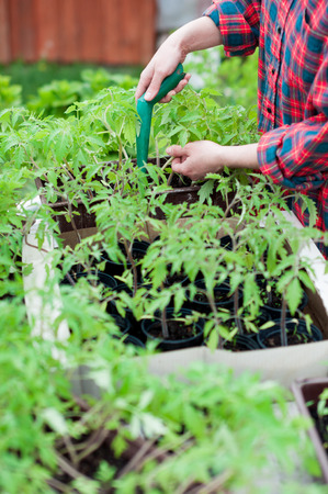 Woman planting tomato seedlings photo