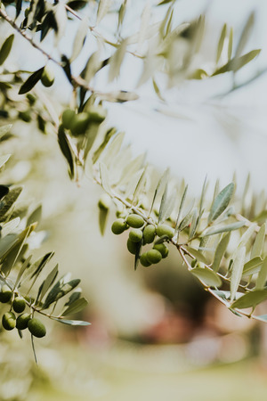 Olijftak met bladerenclose-up Stockfoto