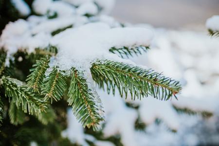Groene sparrentak bedekt met sneeuw