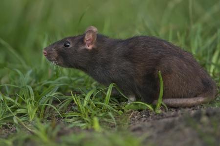 opportunist: szczur śniady