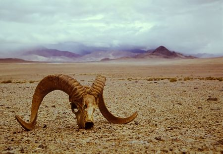 argalis skull in the Asian stony desert photo