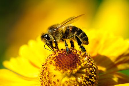 diligente: diligentes abejas en flor amarilla en verano