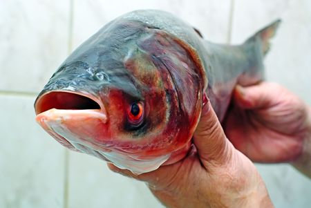 Fish silver carp,hypophthalmichthys molitrix photo