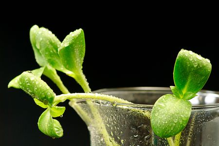green sunflower plant sprouts isolated on black background Stock Photo - 6671877