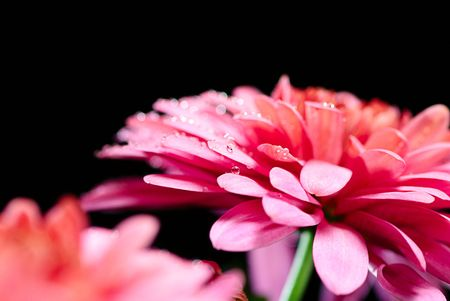 red chrysanthemum  on a black background photo