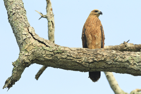 attempt: Chick  eagle on top of tree trunk around the beach.