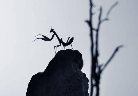 Silhouette. Mantis at the dead wooden Archivio Fotografico