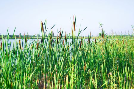 Thickets of a cane on the bank of quiet blue lake Stock Photo - 3338169