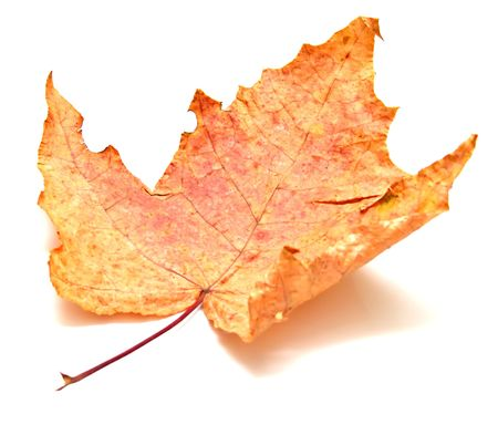 Autumn maple leaf on white background. Isolation, shallow DOF Stock Photo