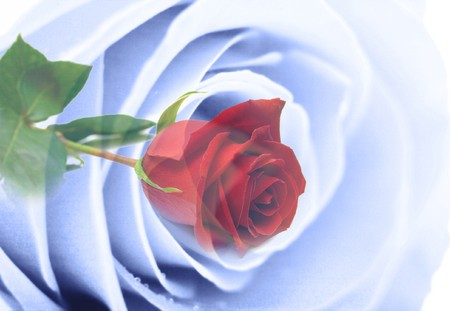 simulating: Abstract background simulating a gentle blue rose and red rose