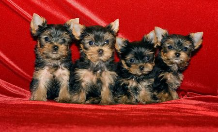 Four little puppies of breed Yorkshire terrier on a red background Stock Photo