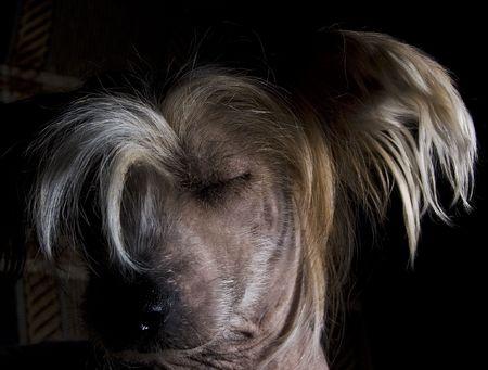 Chinese Crested Dog on black background