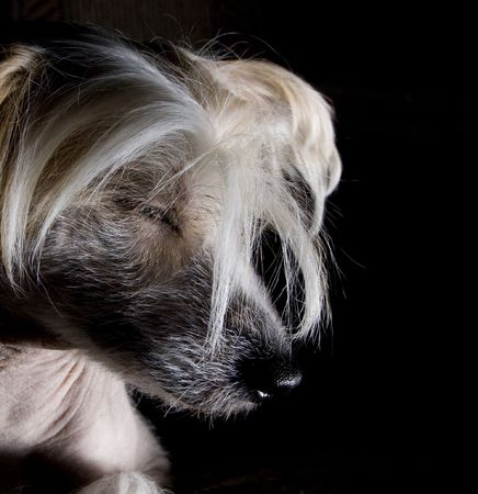 Chinese Crested Dog on black background