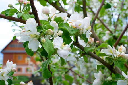Branches of a blossoming apple-tree against the wooden house. Shallow DOF